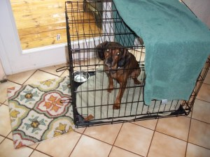 Sweet Pea was glad to get out of her crate when I came home from work!