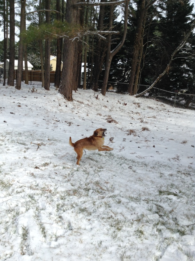 Louie throwing a pine cone